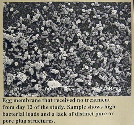 Egg membrane that recieved no treatment