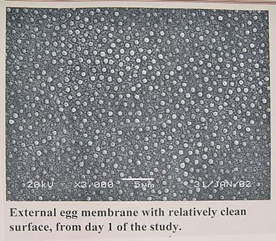 Exteral egg Membrane